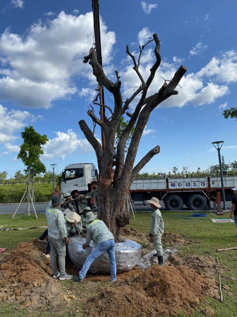 Cập nhật tiến độ Sala Garden Tháng 11/2019: Trồng thêm nhiều cây cổ thụ