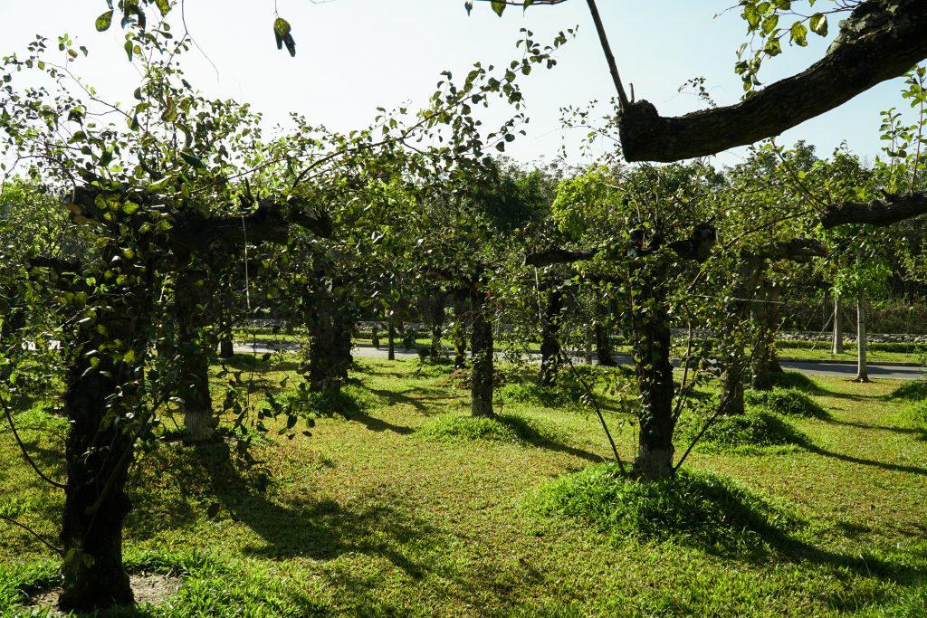 Vườn táo cỗ tại Sala Garden