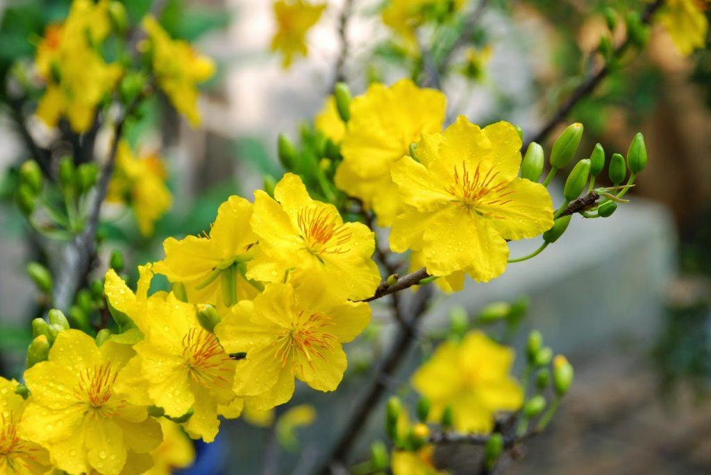 Người miền Nam cũng chọn hoa mai chưng trên bàn thờ để tạo thêm không khí Tết